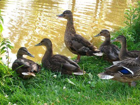Duck family on waterside Stock Photo - 5153062