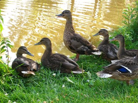 Duck family on waterside Stock Photo - 5153062