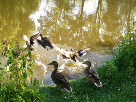 webbed legs: Duck family rushing into the water Stock Photo