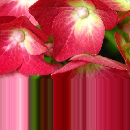 Multi purpose hydrangea greeting card photo