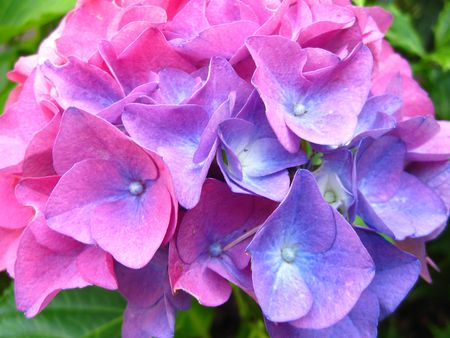 hydrangea flower: pink blue purple hydrangea