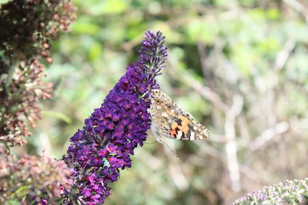 Painted Lady (Vanessa cardui) butterfly on summer lilac photo