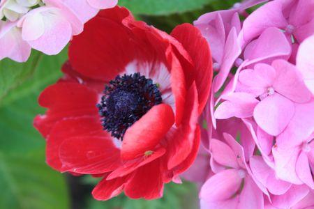 maturation: Anemone and hydrangea