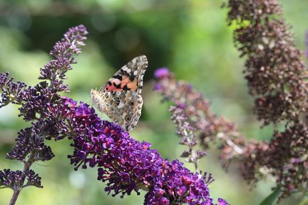 vanessa: Painted Lady (Vanessa cardui) butterfly on summer lilac
