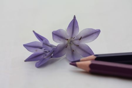 drawing a triteleia tripletlilies or Ithuriel's spear Stock Photo - 5256310