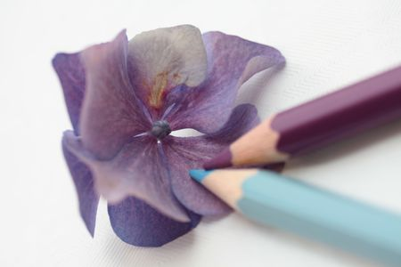 Drawing an hydrangea photo