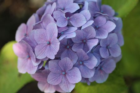 blue purple hydrangea  photo