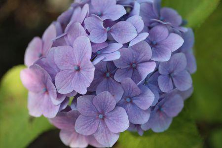 blue purple hydrangea  photo