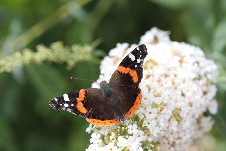 admiral: Atalanta or red admiral on white summer lilac