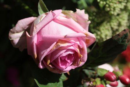 captivating: pink rose close up