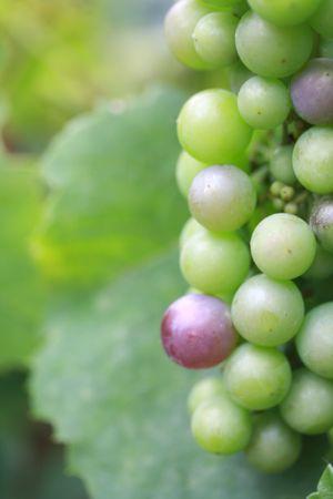 bordeau: Maturing grapes