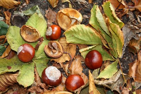 An autumn still live with chestnut leaves, chestnuts and beech leaves Stock Photo - 5602585