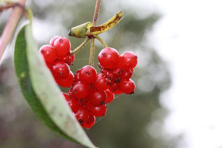 autmn: Red honeysuckle berries in the autmn Stock Photo