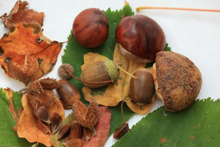 Still life with acorns, chestnuts, beech nuts and autumn leaves Stock Photo - 5602609