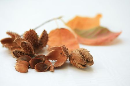 Fruits of european beech and orange leaves Stock Photo - 5602589