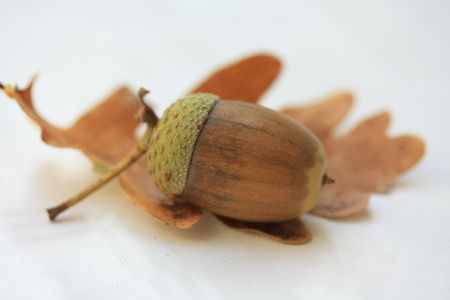 A brown green acorn on a dried oak leaf Stock Photo - 5602583