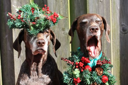 Two German shorthaired pointer sisters, dressed for Christmas photo