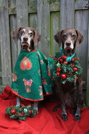 Two german shorthaired pointers dressed for christmas photo