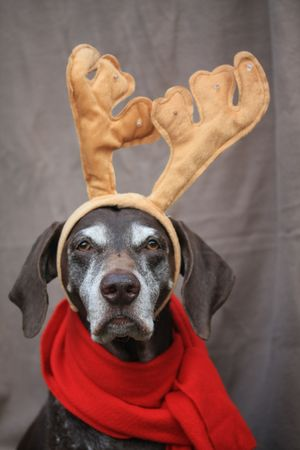 rare animal: A german shorthaired pointer with additional reindeer horns