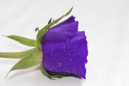 Waterdrops on a single purple rose, overwhite photo