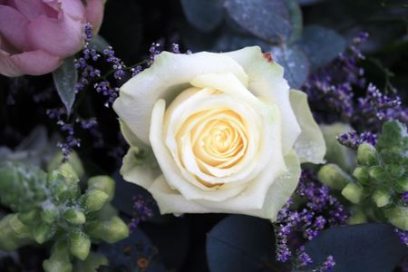 A big white rose with snow crystals Stock Photo - 6204251