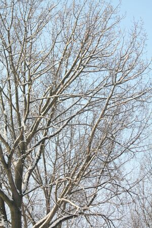 A tree covered in sniow and a clear blue sky photo