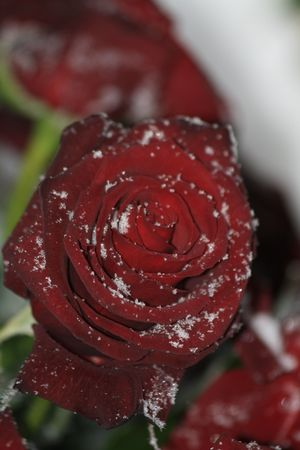 A solitaire red rose in the snow photo