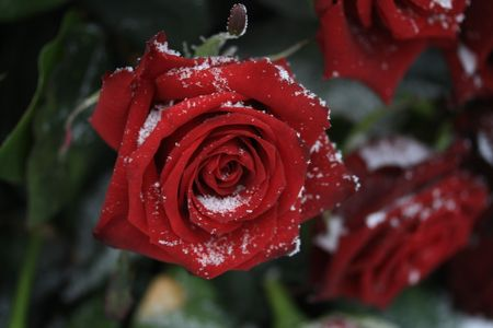 bunch of red roses: A solitaire red rose in the snow Stock Photo