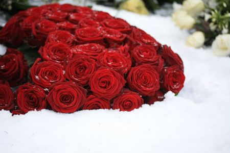 A bouquet of red roses in the snow photo