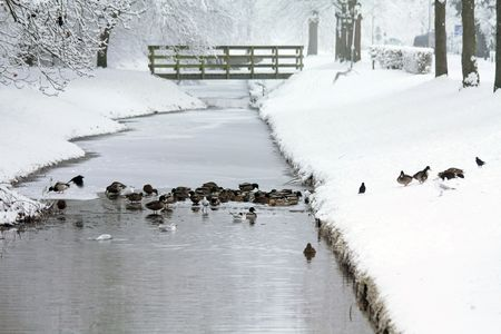 A group of ducks in a half frozen ditch photo