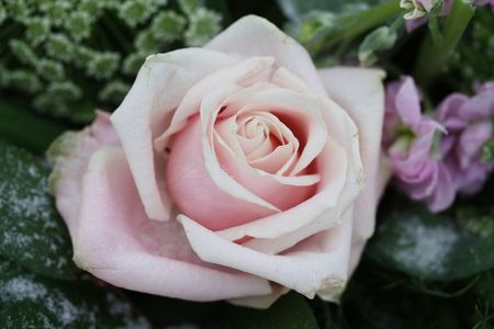 A solitaire pale pink rose in the snow Stock Photo - 6265367
