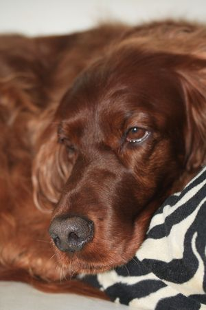 Red brown female Irish Setter, half a sleep, half awake Stock Photo - 6560124