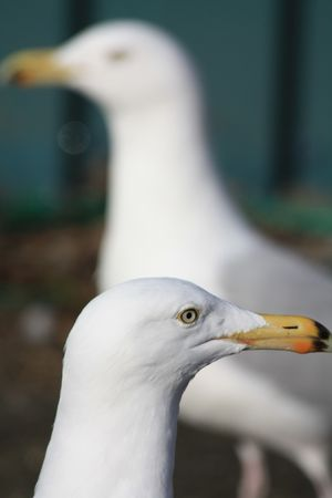 A couple of seagulls in close up Stock Photo - 6669068
