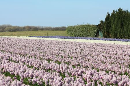 hyacints narcissus: Fields with purple and white hyacints in the Netherlands