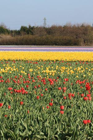 hyacints narcissus: Dutch floral industry, fields with tulips