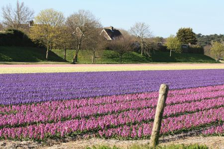 Dutch floral industry, fields with hyacints photo