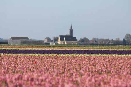 hyacints narcissus: Dutch floral industry, fields with hyacints
