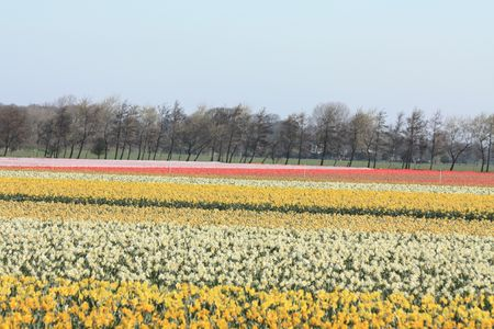 hyacints narcissus: Dutch floral industry, fields with yellow daffodils