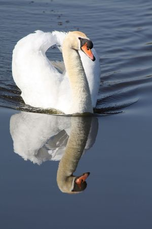 A Swan, floating over water with a perfect reflection photo