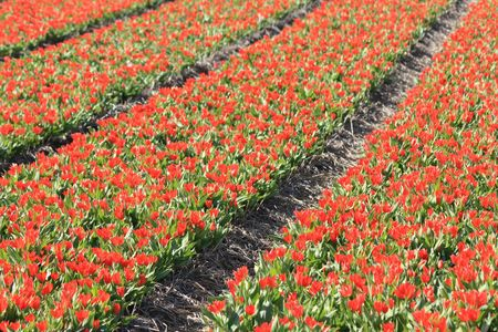 Dutch floral industry, small red tulips on a field photo