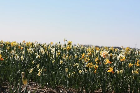 hyacints narcissus: Mixed daffodils, white and yellow, growing on a field