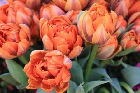 flower parade: Floral arrangement of orange parrot tulips in a flower parade