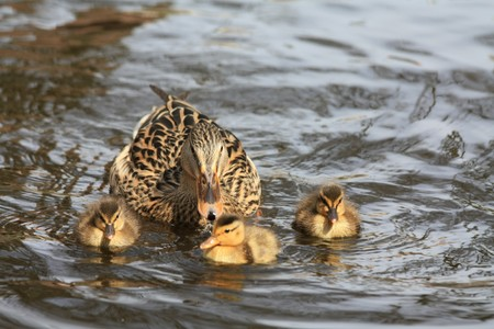 A mother duck and three small ducklings photo
