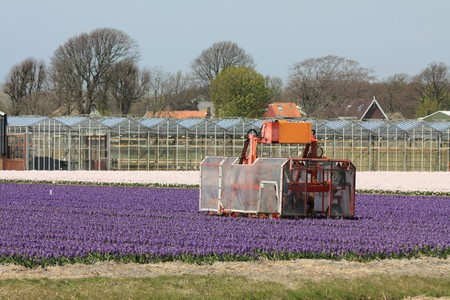 hyacints narcissus: Dutch floral industry, fields with pink and white hyacints and greenhouses in the background Stock Photo
