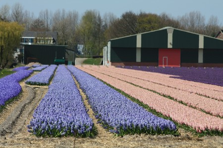 hyacints narcissus: Dutch floral industry, fields with blue, pink and purple hyacints