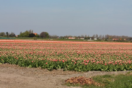 hyacints narcissus: Dutch floral industry, different shades of tulips on a field
