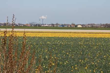 hyacints narcissus: Dutch floral industry, fields with various flowers: daffodils and hyacints