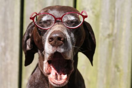A bored german pointer wearing a pair of glasses