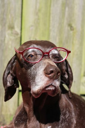 shorthaired: A german shorthaired pointer wearing a pink pair of glasses