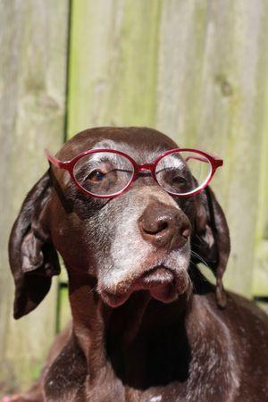 shorthaired: Un puntero de shorthaired alem�n llevaba un rosado par de lentes